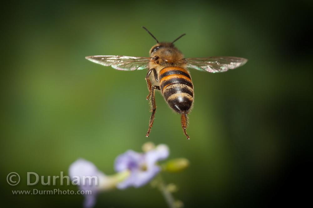 An African honey bee (Apis mellifera scutellata) photographed with a high-speed camera outside Bulawayo, Zimbabwe. © Michael Durham / www.DurmPhoto.com