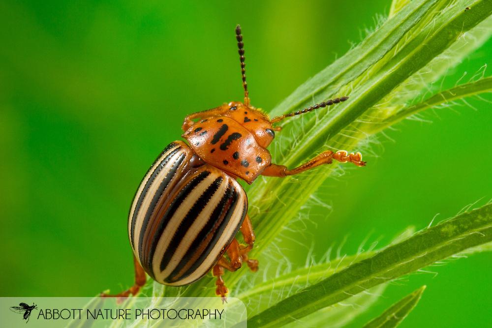 False Potato Beetle (Leptinotarsa juncta)<br /> United States: Alabama: Tuscaloosa Co.<br /> Tulip Tree Springs off Echola Rd.; Elrod<br /> 23-Jun-2017<br /> J.C. Abbott #2962
