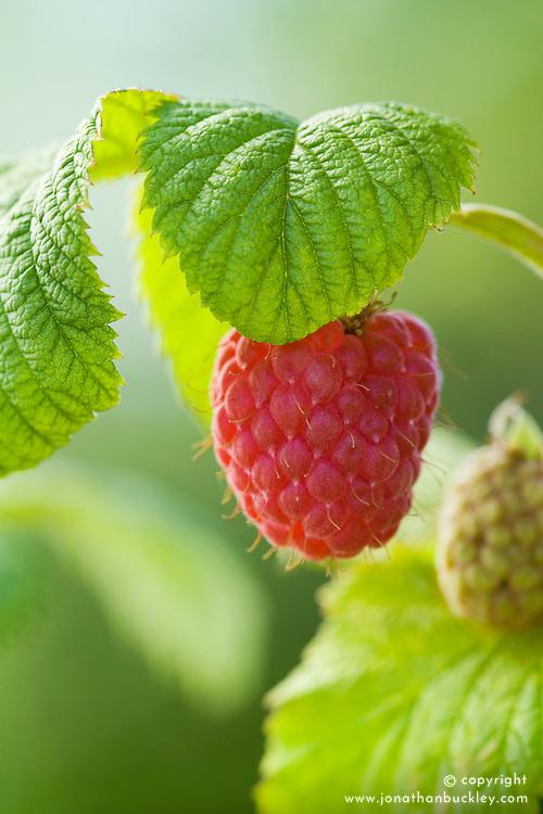 Raspberry 'Octavia' - Rubus idaeus
