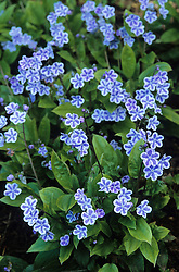 Omphalodes cappadocica 'Starry Eyes' - Navelwort