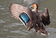 Eurasian Duck