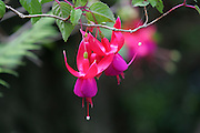 Fuchia, Kula Botanical Gardens, Maui, Hawaii<br />
