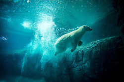December 4, 2016 - Sao Paulo, Brazil - Polar bears Aurora and Peregrino, respectively 5 and 6 years old, live in the São Paulo Aquarium in Ipiranga, South Zone of the capital on 4 December 2016...Born in cold Russia, mammals are the first of its kind in the country. Despite the climatic difference between their homeland and Brazil, the bears, who together weigh 730 kg, had no problem adapting to their new home. They are located in an area of 1,500 square meters and with a temperature between -15 ° C and -5 ° C...The couple lived in a zoo in the Russian city of Kazan but, according to experts, the space was not large enough for their proper development. (Credit Image: © Cris Faga/NurPhoto via ZUMA Press)