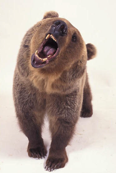 Grizzly Bear, (Ursus horribilis) Snarling on white.  Captive Animal.
