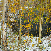 Aspen trees with fall colors. Bishop. California, USA.