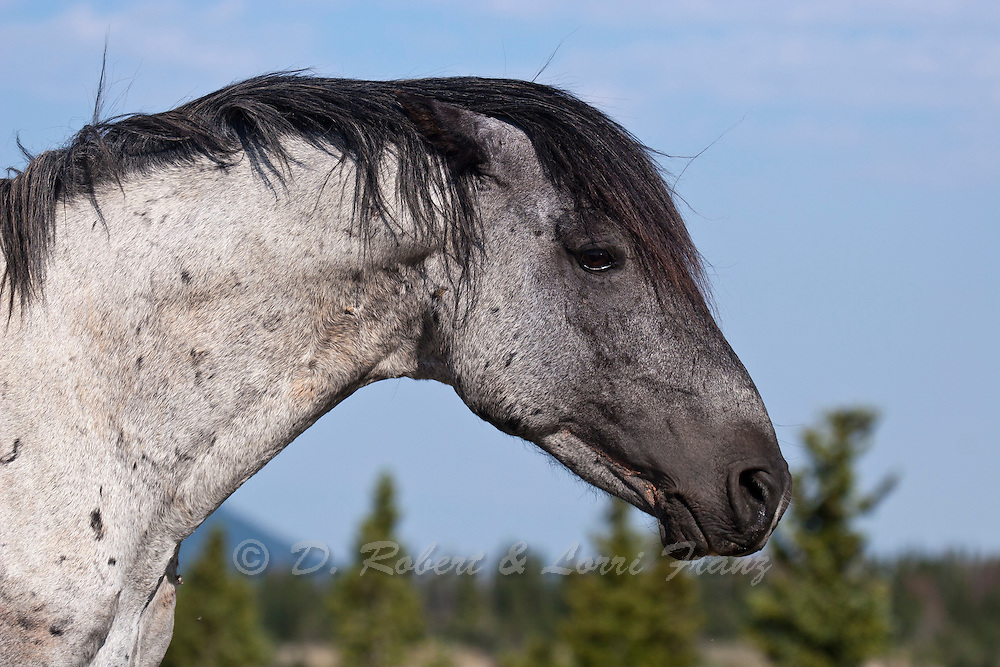 Wild horse or mustang, band stallion in Montana