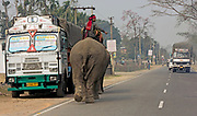 Elephant on the road. Kaziranga, Assam, India.