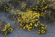 Yellow Sea Aster plant in flower, Asteriscus maritimus, Cabo de Gata natural park, Almeria, Spain