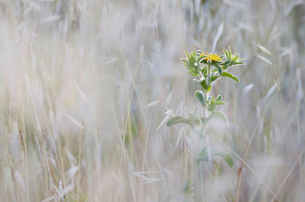 Elecampane (Inularia helenium) in tall grass, San Marino.