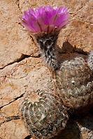Lace Cactus, Echinocereus reichenbachii, Burnet County, TX