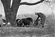 Farmer feeding pigs, Ozarks, Missouri, USA