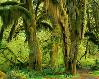 Hall of Mosses Hoh Rain Forest Olympic National Park Washington USA