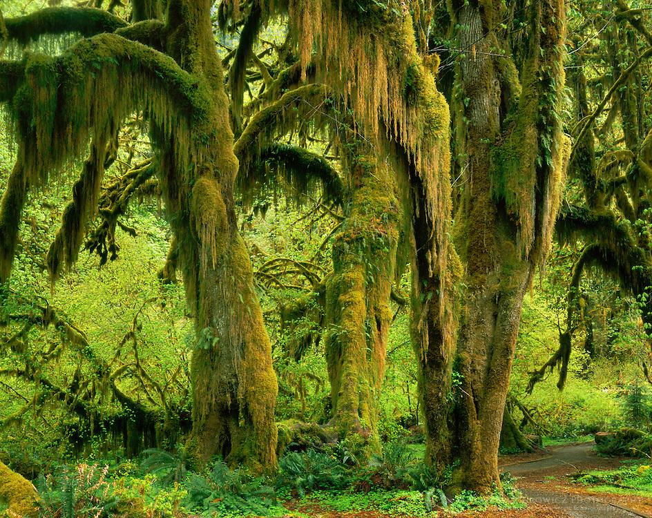 Hall of Mosses Hoh Rain Forest Olympic National Park Washington USA
