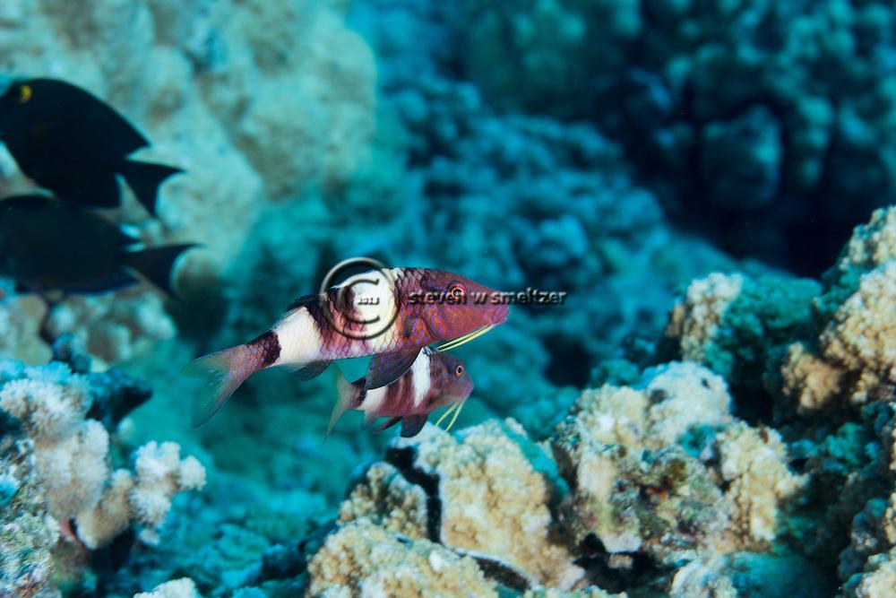 Manybar Goatfish, Parupeneus multifasciatus, (Quoy & Gaimard, 1825), Maui Hawaii