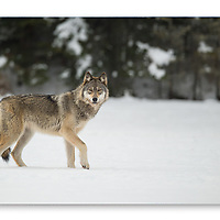 Wild Female wolf checking out the sound of the camera shutter in Ontario Canada.