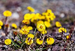 THEMENBILD - auf den Blüte des Huflattichs (Tussilago farfara) sitzen Insekten, aufgenommen am 17. März 2019, Kaprun, Österreich // insects sit on the flower of the coltsfoot (Tussilago farfara) on 2019/03/17, Kaprun, Austria. EXPA Pictures © 2019, PhotoCredit: EXPA/ Stefanie Oberhauser