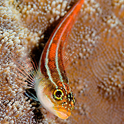 Striped Triplefin Helcogramma striatum at, Lembeh Straits, Indonesia.