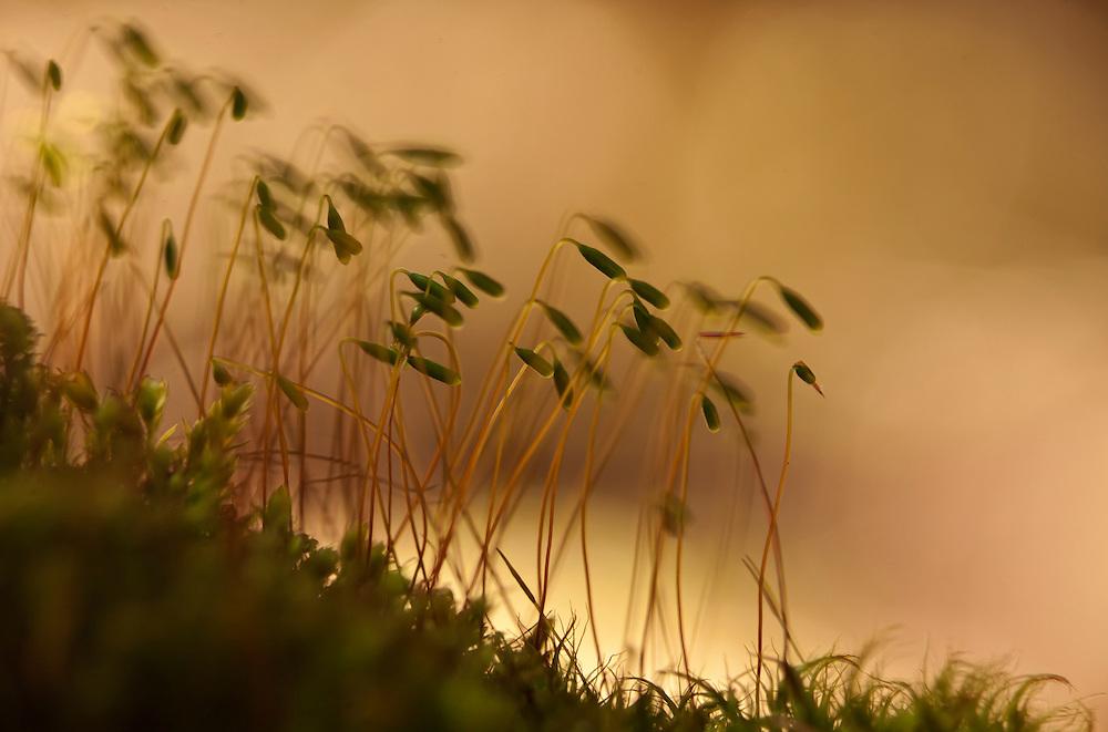 Moss in bloom, Fournols, Auvergne, PNR du Livradois Forez