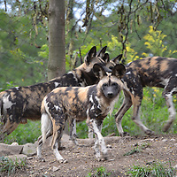 African Painted Dogs at the Pittsburgh Zoo