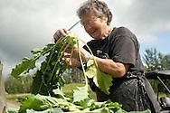 A farm hand trims kohlrabi at a small family farm near Palmer, Alaska.