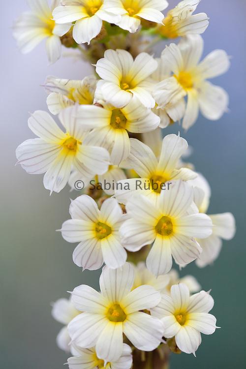 Sisyrinchium striatum - yellow Mexican satin flower