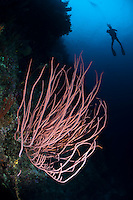 The strong currents in the Misool area create perfect conditions for filter feeders such as sea whips and many of the dive sites have huge fields of fans and whips.