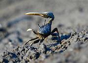 Fiddler Crab dance in defensive posture