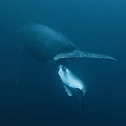 Humpback whale calf (Megaptera noavaeangliae) nursing in dark water with low visibility. Humpback whale females with calves seem to have an affinity for resting in areas of low visibility around the islands of the Vava'u island group in the Kingdom of Tonga.