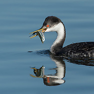 "Another portrait of a western grebe with a catch. The glance as if saying ""This fish is mine. Catch your own fish."""
