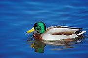 Male mallard (Anas platyrhynchos) duck in pond<br />Winnipeg<br />Manitoba<br />Canada