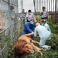 Frankrijk Lieusaint,21 mei 2015.<br /> Stichting AAP die zich inzet voor opvang en welzijn van verwaarloosde dieren waaronder diverse apensoorten haalt nu verwaarloosde 2 tijgers en 2 leeuwen op bij een failliete circus in het plaatsje Lieusaint in de buurt van Parijs om ze vervolgens een betere toekomst te geven in opvangcentrum Primadomus in de buurt van Alicante Spanje.<br /> Stichting AAP oprichter David van Gennep kijkt toe hoe dierenartsen de leeuw medisch onderzoeken na verdoving.<br /> <br /> <br /> <br /> Foto: Jean-Pierre Jans