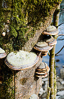 Switzerland. Springtime. Fungus that looks like snails on a tree down by the river.