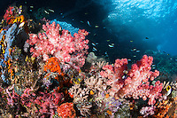 Healthy Soft Corals thrive under the submerged arches of Bo'o Windows, Raja Ampat<br /> <br /> Shot in Indonesia