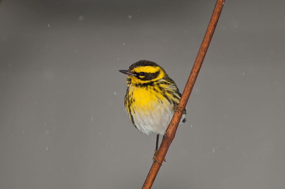 A Townsend's Warbler (Setophaga townsendi) snow, wintering in Seattle, Washington