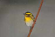 A Townsend's Warbler (Setophaga townsendi) snow, wintering in Seattle, Washington