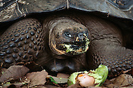 Giant tortoise eating an avocado, Geochelone nigra, Santa Cruz Island, Galapagos Islands