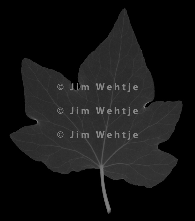 X-ray image of an English ivy leaf (Hedera helix, white on black) by Jim Wehtje, specialist in x-ray art and design images.