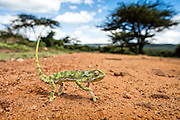 A chameleon walks across the orange dirt road in Tanzania.