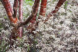 Anthriscus sylvestris 'Ravenswing' growing around the base of Prunus serrula - Birch Bark Cherry tree