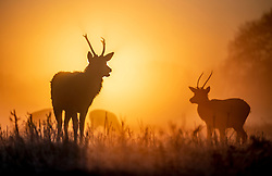 © Licensed to London News Pictures. 06/02/2020. London, UK. The sun rises behind a young stag deer on a misty morning in Bushy Park, south west London. After a period of clear and cold days, rain and wind are forecast for the next few days as the UK feels the effects of Storm Ciara. Photo credit: Peter Macdiarmid/LNP