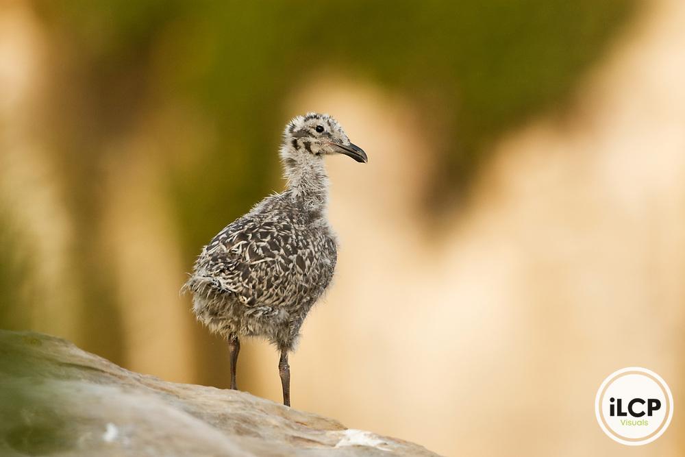 Western Gull (Larus occidentalis) chick, Natural Bridges State Beach, Santa Cruz, Monterey Bay, California