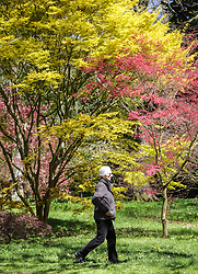 © Licensed to London News Pictures. 22/04/2015. Bristol, Avon, UK. A woman walking past Japanese Maple trees, the through the National Maple Collection at Westonbirt, The National Arboretum today, 22nd April 2015. The south west of England is set for more warm temperatures and plenty of sunshine today. Photo credit : Rob Arnold/LNP