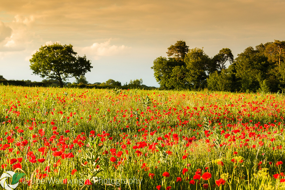 Close to the small town of Broughton, North Wales, this field of poppies basks in the warm evening light as rain clouds approach.
