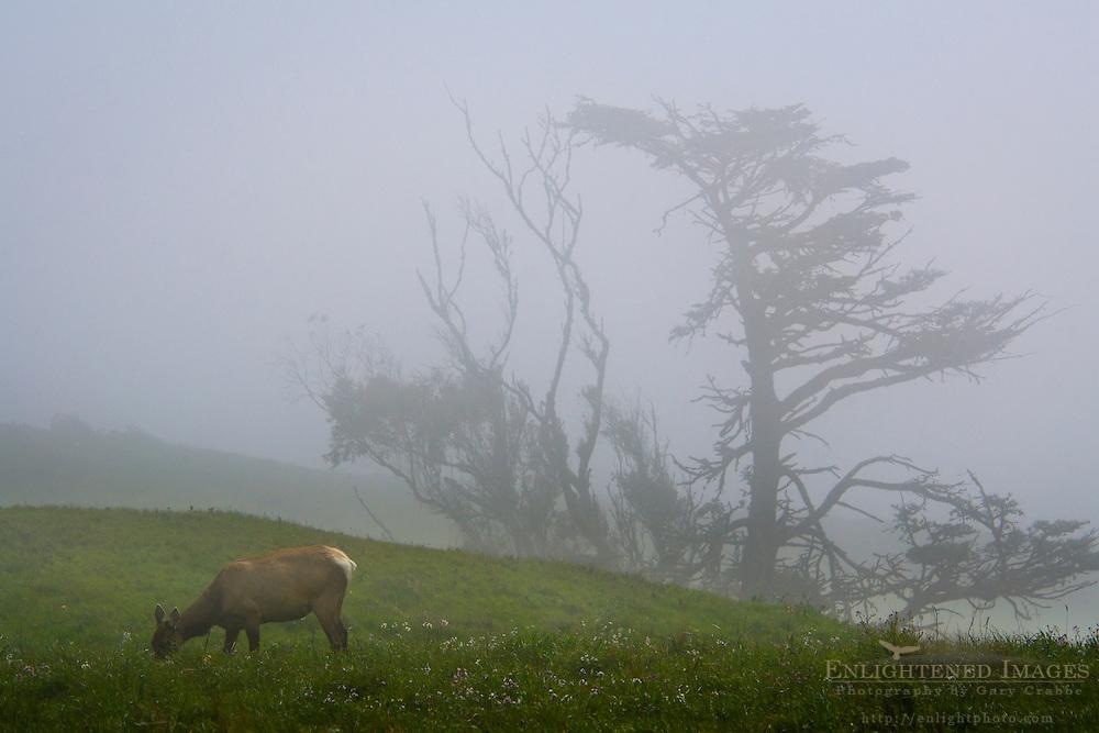 Female Tule elk in fog, Point Reyes National Seashore, Marin County, California