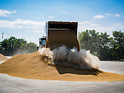 "23 NOVEMBER 2016 - AYUTTHAYA, THAILAND: A front end loader scoops up rice at a storage facility during the rice harvest in Ayutthaya province, north of Bangkok. Rice prices in Thailand hit a 13-month low early this month. The low prices are hurting farmers. Rice exports account for around 10 percent of Thailand's gross domestic product, and low prices frequently lead to discontent in the rural areas of Thailand. The military government has responded by sending soldiers to rice mills, to ""encourage"" mill owners to pay farmers higher prices. The Thai army and navy are also buying for their kitchens directly from farmers in an effort to get more money into farmers' hands.  PHOTO BY JACK KURTZ"