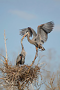 Stock photo of a great blue heron collecting nesting material.  The nest, made up of sticks twigs, can measure up to 4 feet in diameter over the years.