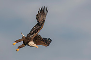 Bald eagle in diving flight, wings completing upstroke, 3rd year sub-adult plumage, sky background, © 2005 David A. Ponton