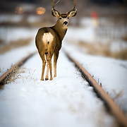 A buck mule deer forages along a railroad track in winter looking for food highway lights beyond Eagle, Colorado.