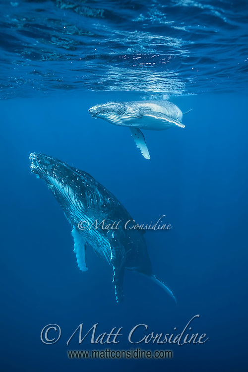 Humpback calf with mother coming up for air. (Photo by Underwater Photographer Matt Considine)