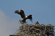Bald Eagle Nest 2011 at Mudlock MNWR